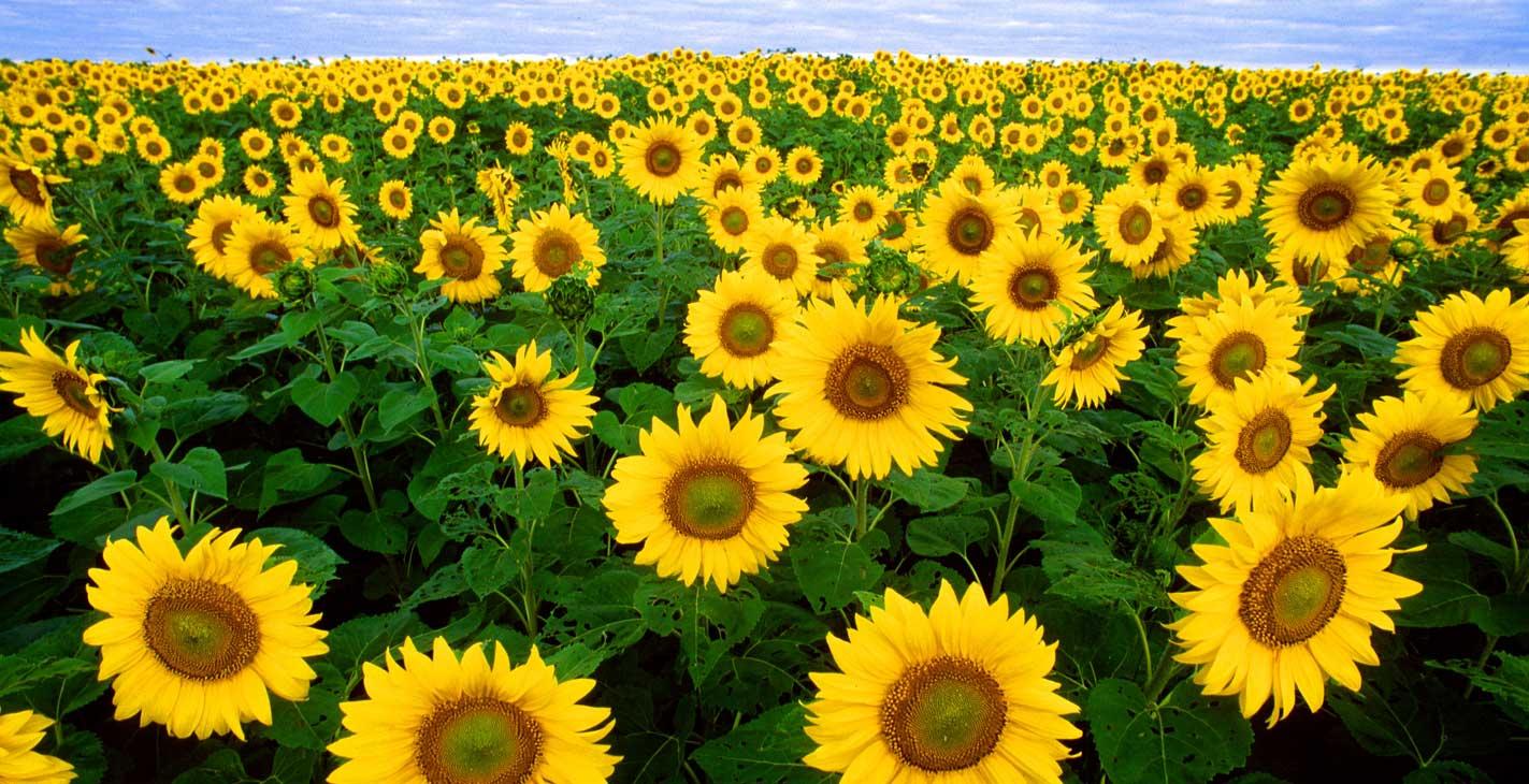 SS 108 wikimedia Sunflowers Outdoor