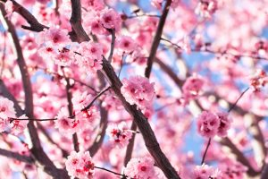 sakura square 300x200 Is Sakura Square Coming Back to Life?