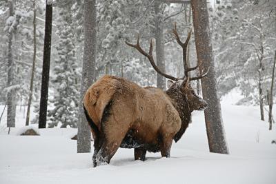 Elk 001 2 Exploring Evergreen and Golden