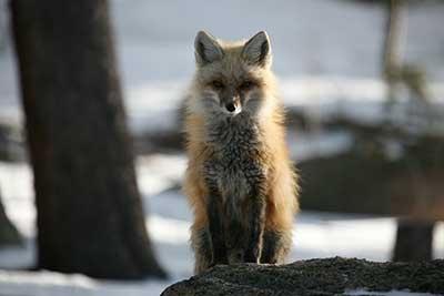 fox bailey Exploring Bailey and Pine