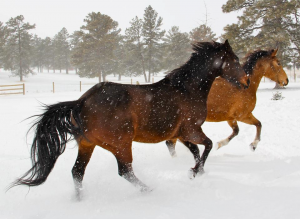 Horses like running in the snow
