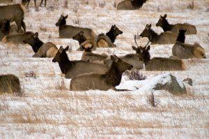 Elk Heard at Highlands Ranch, CO